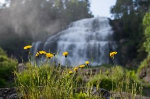 Blommor vid Svandalsfossen
