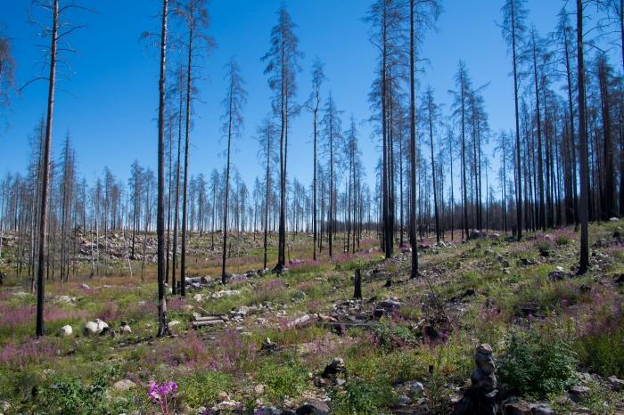 Rallarrosor vid Hälleskogsbrännan