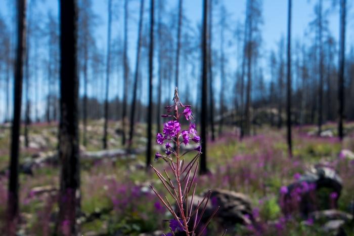 Rallarros i Hälleskogsbrännan