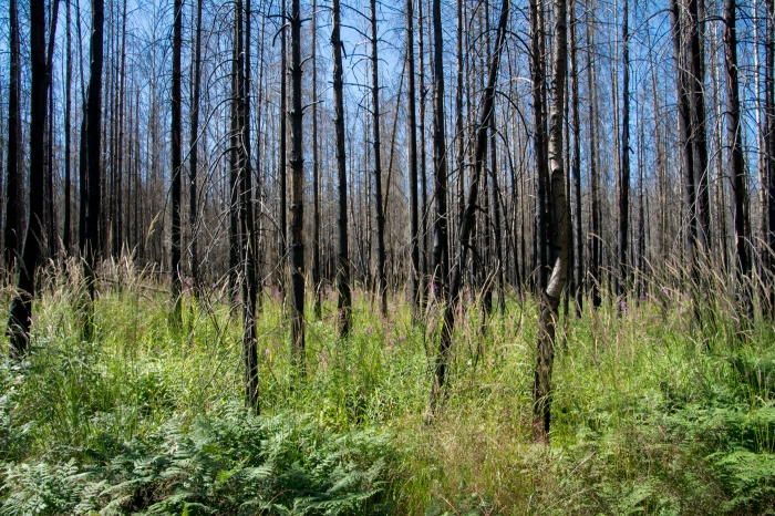 Yngre bränd skog
