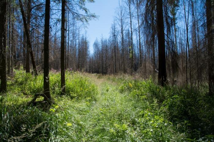 Skidspår i Hälleskogsbrännan