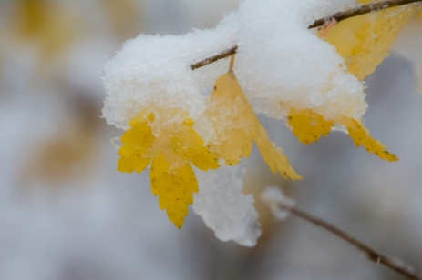 Snötyngda löv