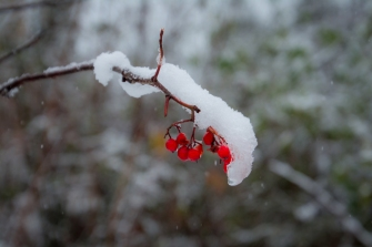 Rönnbär med snö