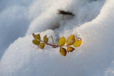 Blad i snö
