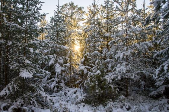 Sol mellan träden
