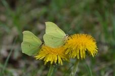Citronfjärilar
