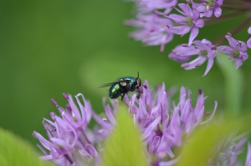 Spyfluga