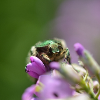 Gräsgrön guldbagge