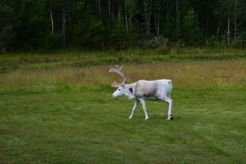 Den vita renen