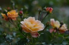 Vacker ros i Magdeburg