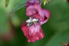 Ett vitt bi i Österrike