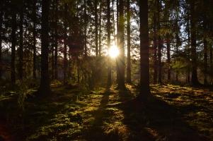 Novembersol i skogen