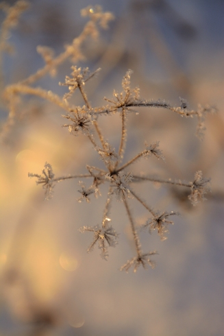 Froststjärnor