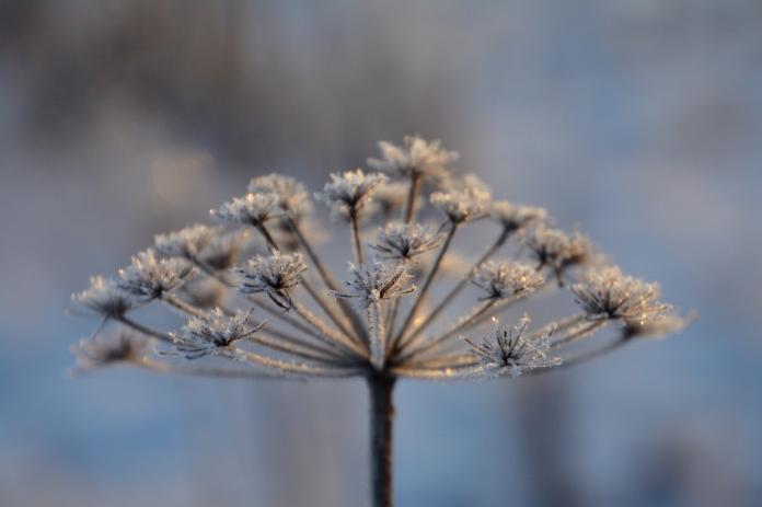 Frostig blomma