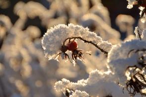 Nypon med snö
