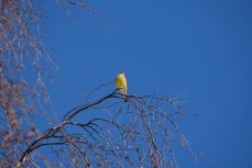 En gul grönfink