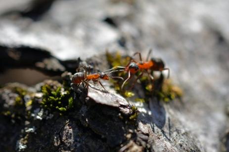 Två myror