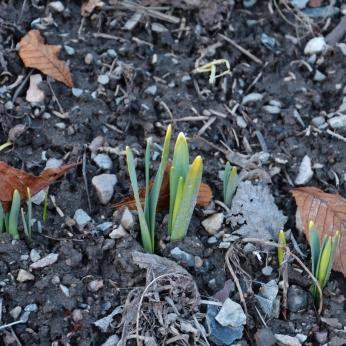 Vårlökar på gång