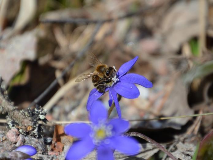 Blåsippa med bi