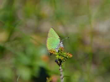 En grönsnabbvinge