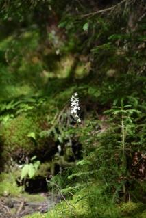 En vild orkidé