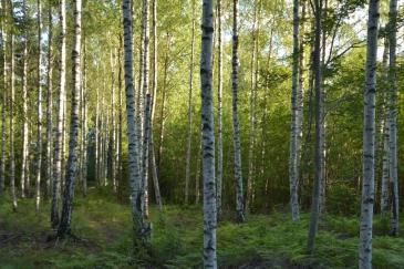 Vårgrön björkskog