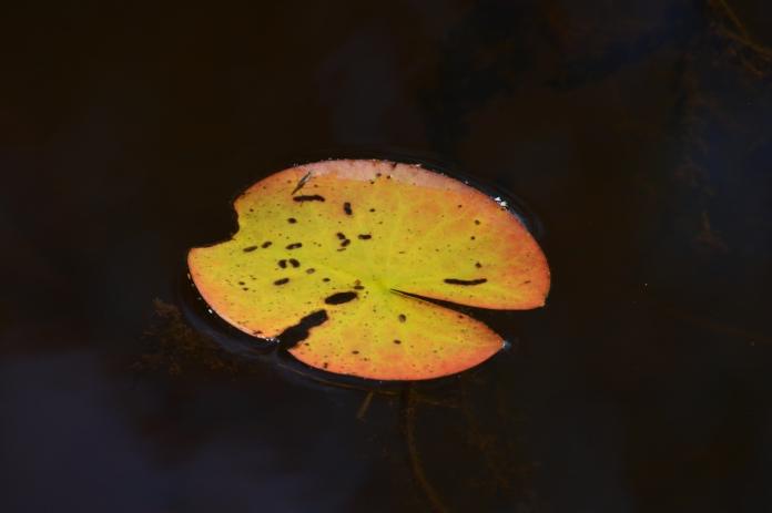 Näckrosblad i höstfärger