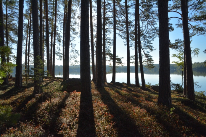 Gles tallskog på Kalvön