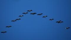 Fågelsträck tranor