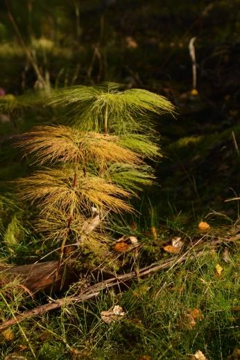 Skogsfräken på hösten