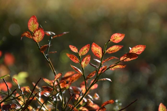 Blåbärsblad med höstfärger