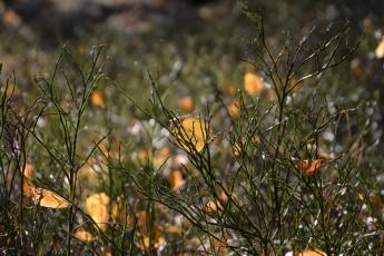 Björklöv och blåbärsris