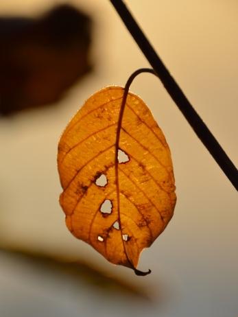 Löv som någon tuggat på