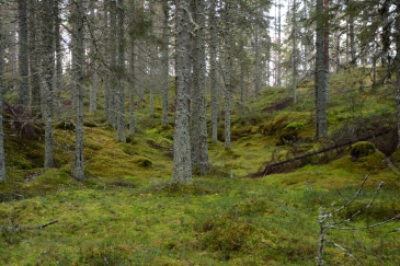 Mossig skog vid Vargbergets naturreservat