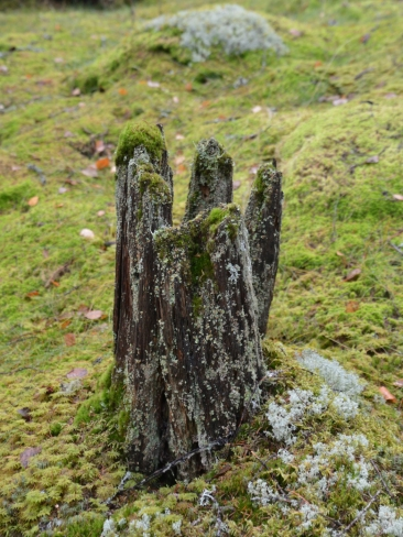 Naturlig stubbe i Vargbergets naturreservat