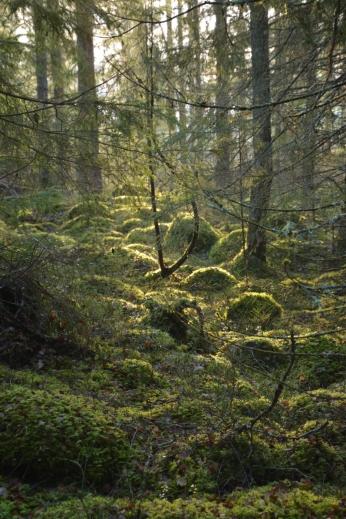 Solbelyst mossig skog