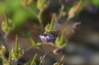 Svedjenäva med bi