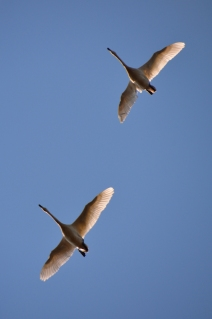 Flygande svanar