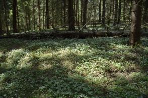 En matta av blommande harsyra