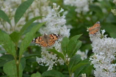 Tistelfjärilar