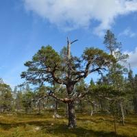 Drevfjällens Naturreservat - Dag 1