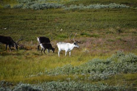 Betande norska renar
