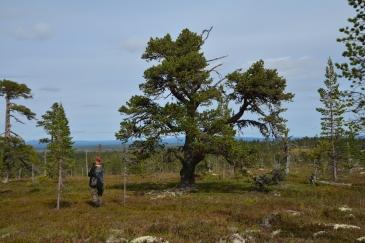En stor bonsai-tall