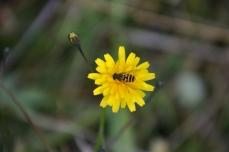 Fibbla med blomfluga