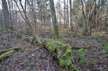 Fallet träd med mossa
