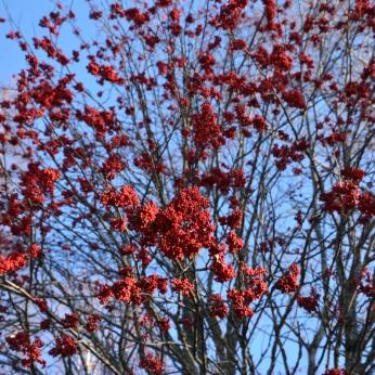 Rönnbär i Jonhagen