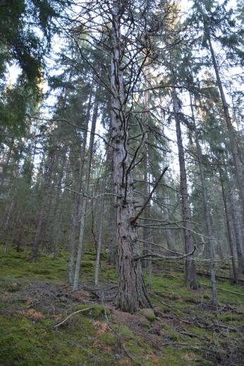 Gammalt lärkträd