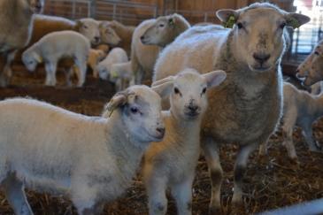 Lamm i Bråfors
