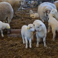 Bisurr och lamm i Bråfors
