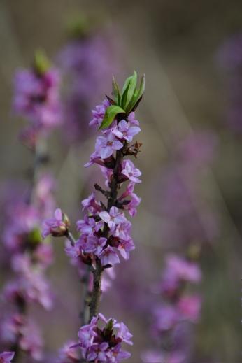 Blommande tibast
